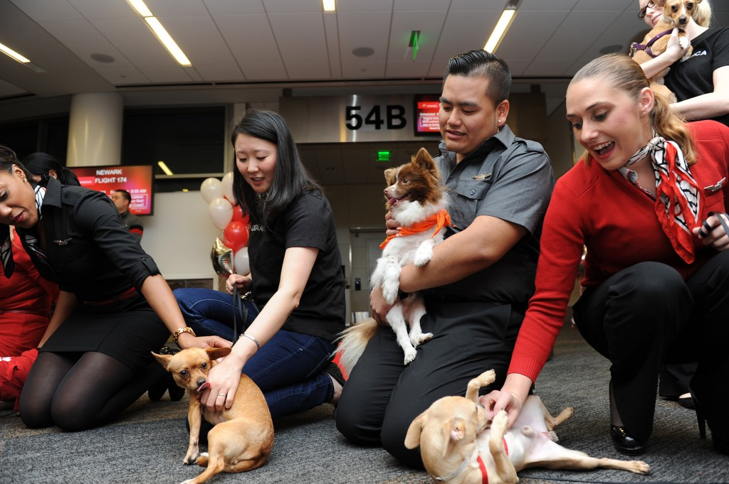 It is a dog's life as they prepare to take the Virgin America Chihuahua Airlift to New York