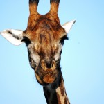 Win a Family Safari with the simple African Animal video competition